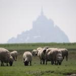 Moutons de pré-salé devant le Mont Saint Michel