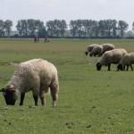 Moutons de pré-salé sur les grèves